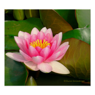 LOTUS BLOSSOM, PINK WITH GOLD CENTER ON LILY PADS POSTER
