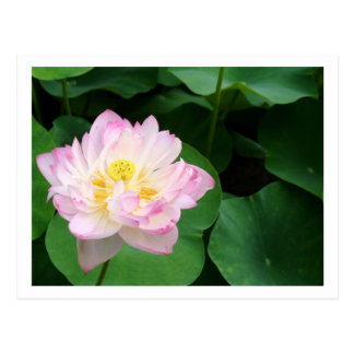 Lotus Blossom Postcard