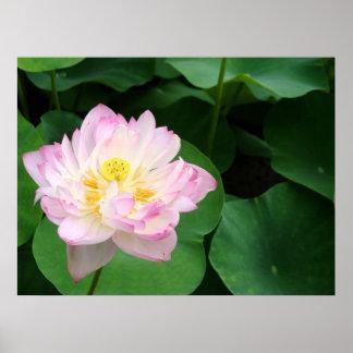 Lotus Blossom Poster