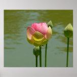 Lotus en la floración impresiones