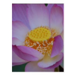 Lotus flower and its meaning postcard
