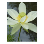 Lotus flower at edge of pond Florida Postcard