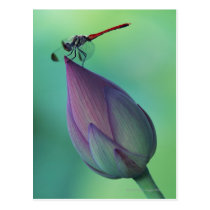 Lotus flower bud and a dragonfly postcard