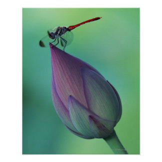 Lotus flower bud and a dragonfly poster