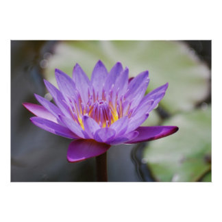 Lotus flower for Mothers Day Posters