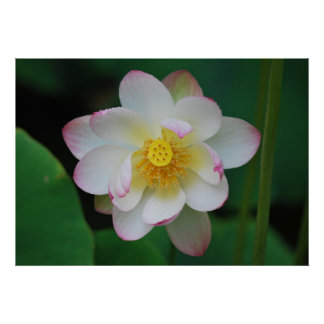 Lotus flower for Mothers Day Poster