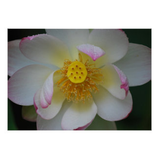 Lotus flower for Mothers Day Print