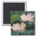 Lotus flower in blossom, China 2 Inch Square Magnet