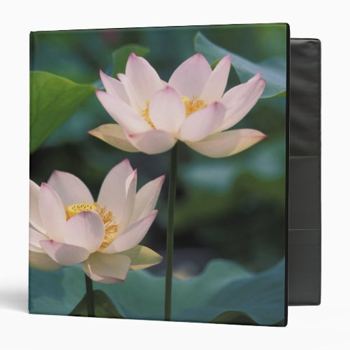 Lotus flower in blossom, China 3 Ring Binder
