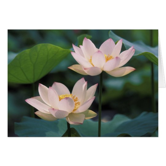 Lotus flower in blossom, China Card