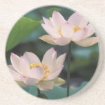 Lotus flower in blossom, China Coaster