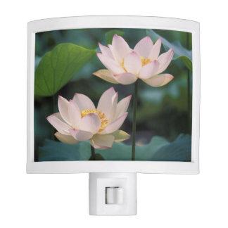 Lotus flower in blossom, China Night Lights