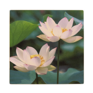 Lotus flower in blossom, China Maple Wood Coaster
