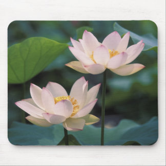 Lotus flower in blossom, China Mouse Pad