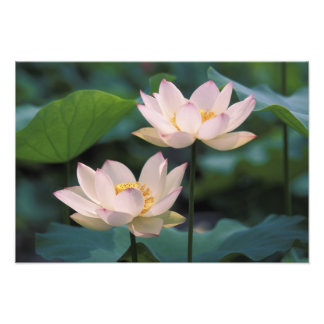Lotus flower in blossom, China Photographic Print
