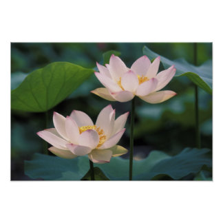 Lotus flower in blossom, China Poster