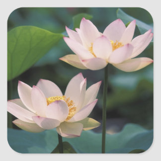 Lotus flower in blossom, China Square Sticker