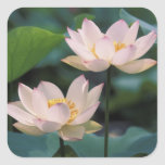 Lotus flower in blossom, China Stickers