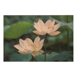 Lotus flower in blossom, China Wood Canvases