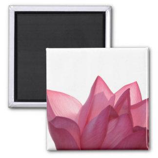 Lotus flower [Nelumbio speciosum] in full 2 Inch Square Magnet
