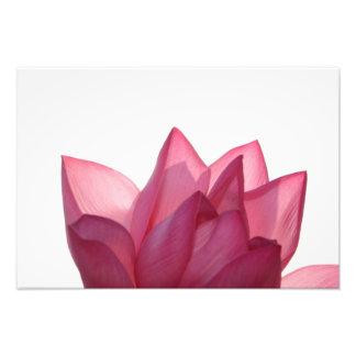 Lotus flower [Nelumbio speciosum] in full Photo Art