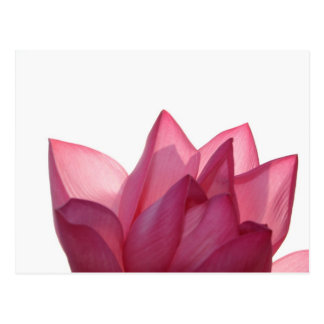 Lotus flower [Nelumbio speciosum] in full Postcard