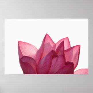 Lotus flower [Nelumbio speciosum] in full Poster