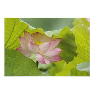 Lotus flower, Nelumbo nucifera, China Photo Art