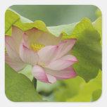 Lotus flower, Nelumbo nucifera, China Square Sticker