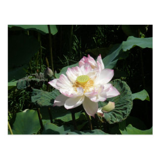 Lotus Flower Postcard