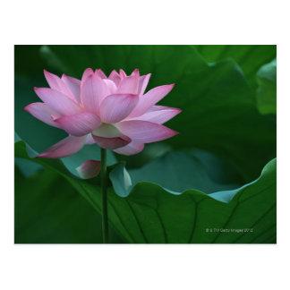 Lotus flower postcards
