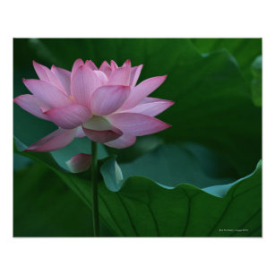 Lotus flower posters photo prints zazzle lotus flower poster mightylinksfo