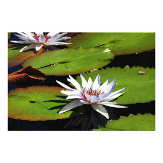 Lotus Flowers on Water Photograph