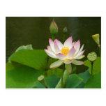Lotus hermoso tarjeta postal