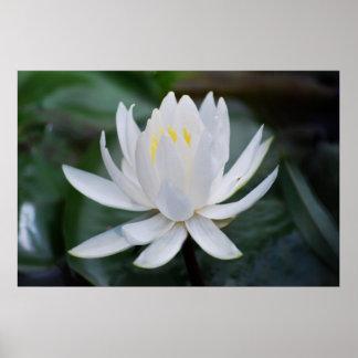 Lotus o waterlily y significado impresiones
