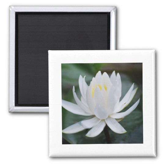 Lotus or waterlily and meaning magnet