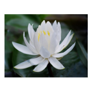 Lotus or waterlily and meaning post cards