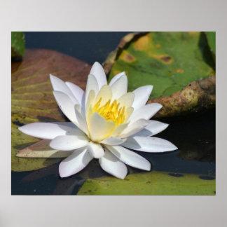 Lotus pacífico para un espacio que necesita zen póster