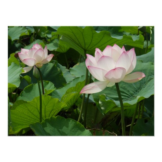 Lotuses Poster