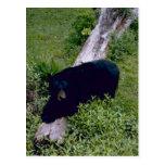 Louisiana Black Bear Postcards