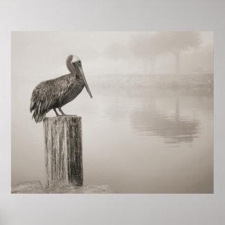 Louisiana Brown Pelican Poster