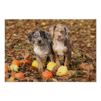 Louisiana Catahoula Puppies With Pumpkins Poster