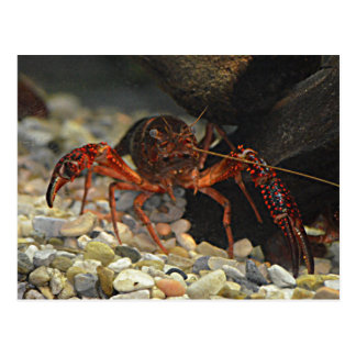 Louisiana Crawfish Postcard