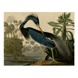 Louisiana Heron Postcard