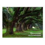 LOUISIANA LIVE OAK TREES POSTCARD