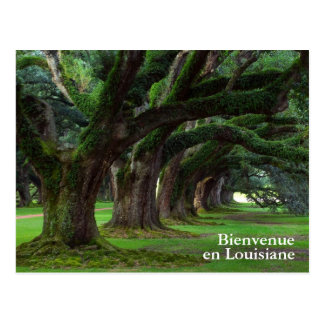 LOUISIANA LIVE OAK TREES POSTCARD
