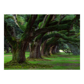 LOUISIANA LIVE OAK TREES POSTER