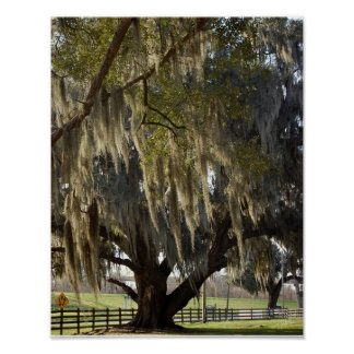Louisiana Oak [Art Print] Poster