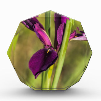Louisiana Purple Gamecock Iris Award