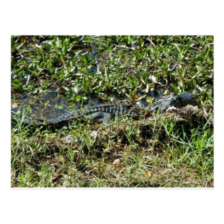 Louisiana Swamp Alligator in Jean Lafitte Close Up Postcard